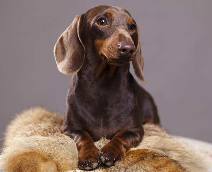 Perro Teckel marrón, sentado y posando