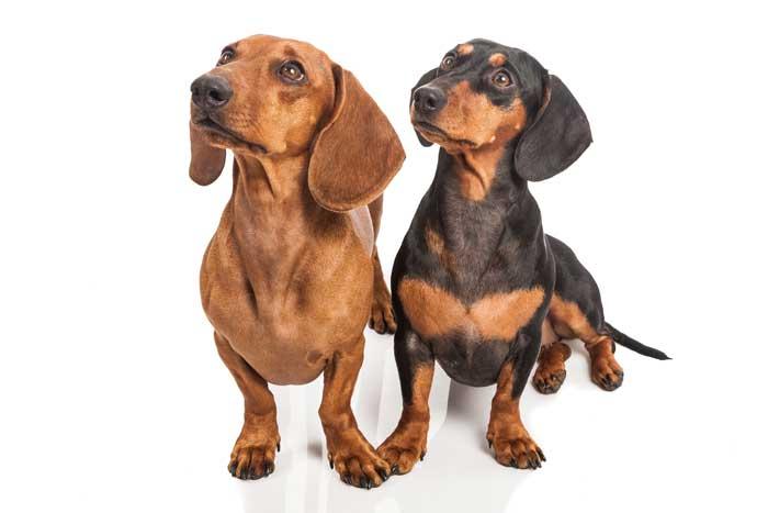 Dos perros adultos teckel