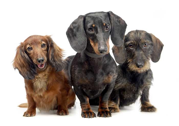 tres perro de la raza Teckel