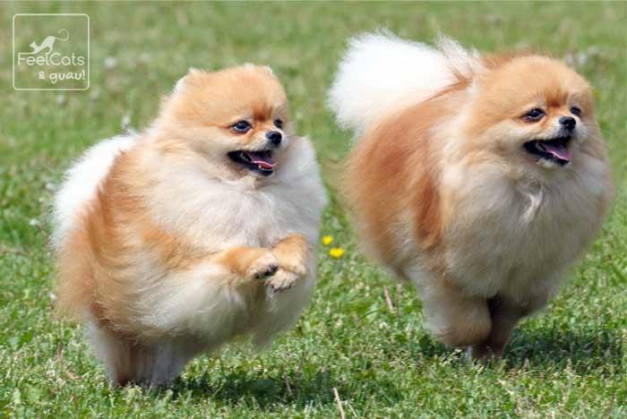 perro lulu de pomerania correndo por el campo