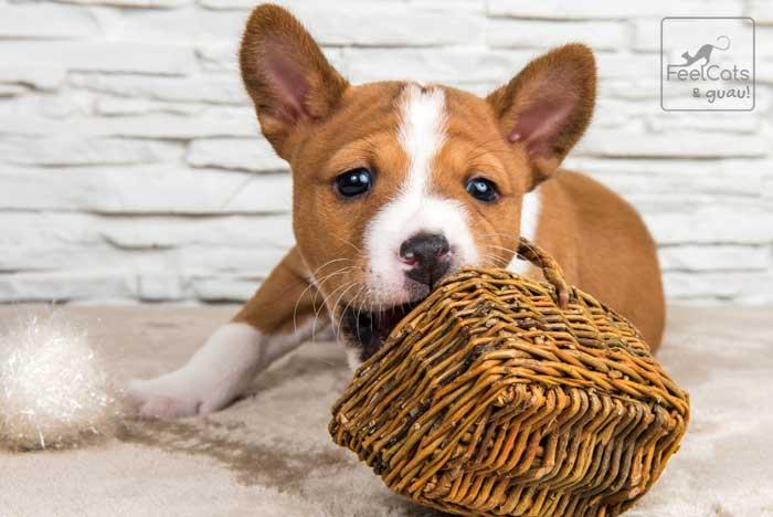 cachorro de basenji, juega con una cesta
