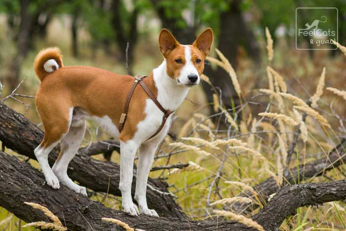 perro basenji africano