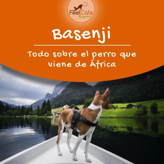 basenji perro