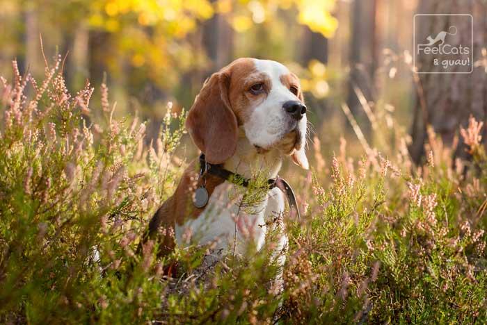 Perro Beagle adulto, ya viejo, entre flores