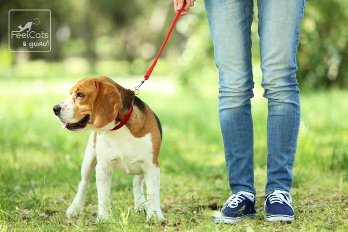 Mujer caminado con un Beagle por el campo, con una correa