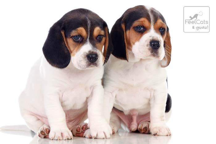 dos cachorros de perro beagle