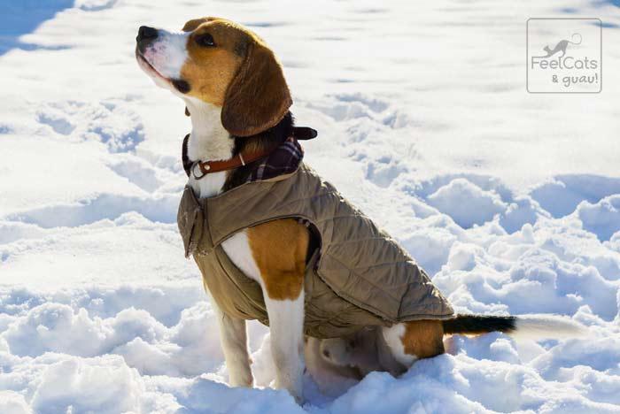 Perro Beagle nieve con abrigo, para evitar el frio