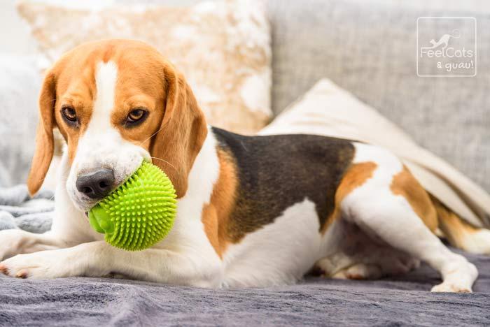 Un perro jugando con una pelota, de la raza Beagle