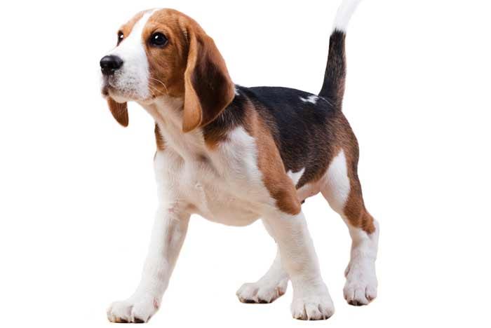 perro Beagle joven