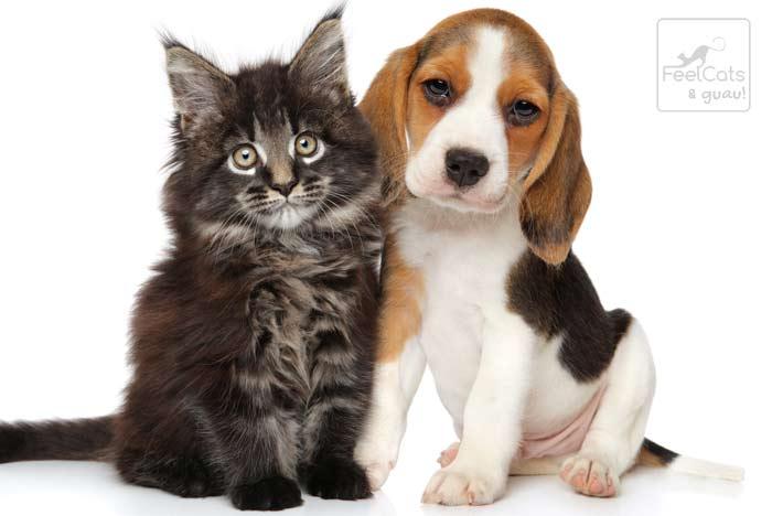 Un Beagle con un maine coon, ambos cachorros
