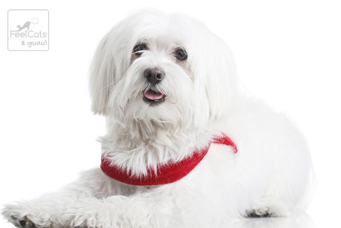 perro de color blanco con una bandolera roja