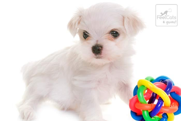 cachorrito de perro maltés