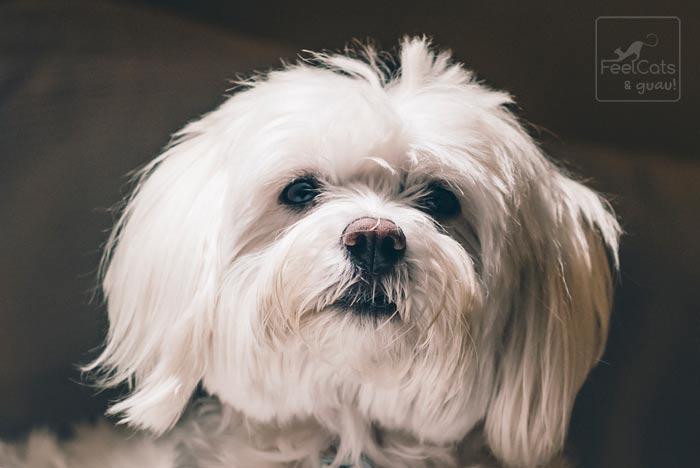 perro adulto maltés