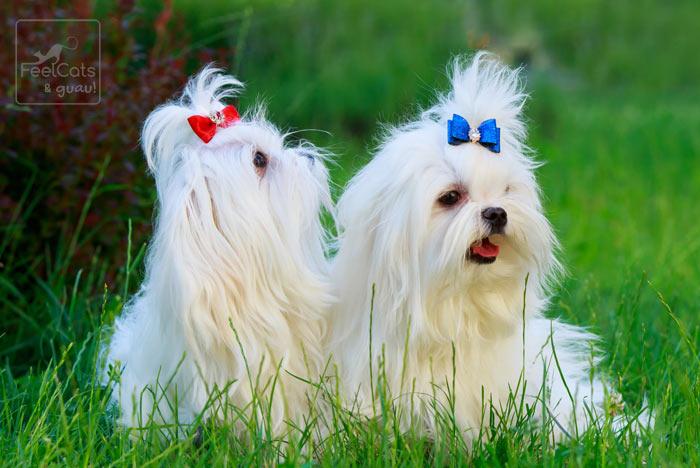 dos perros toy con lazos de colores, en la hierba