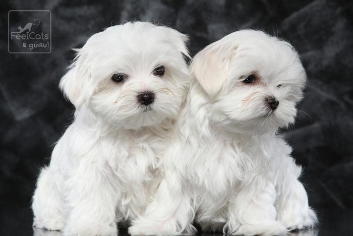 dos perros de la raza bichón maltés