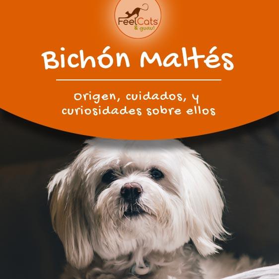 Todo sobre el Bichón Maltés, ya sea mini, toy o adulto. Toda la información sobre esta raza de perro.