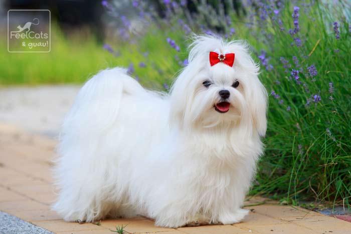 perro maltés con un lazo rojo