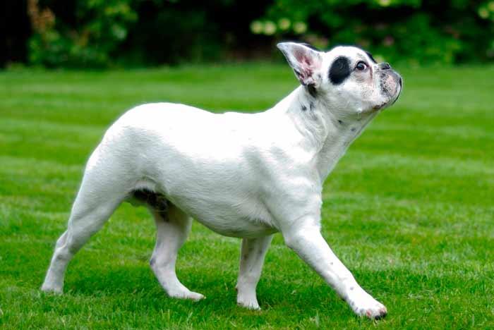 perro bulldog francés, blanco, paseando por el campo