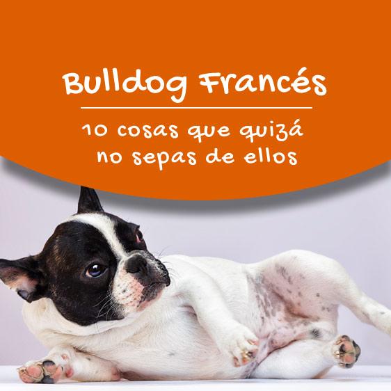 bulldog francés informacion sobre ellos