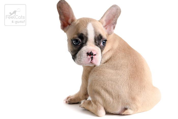 bulldog francés de color crema, muy cachorro