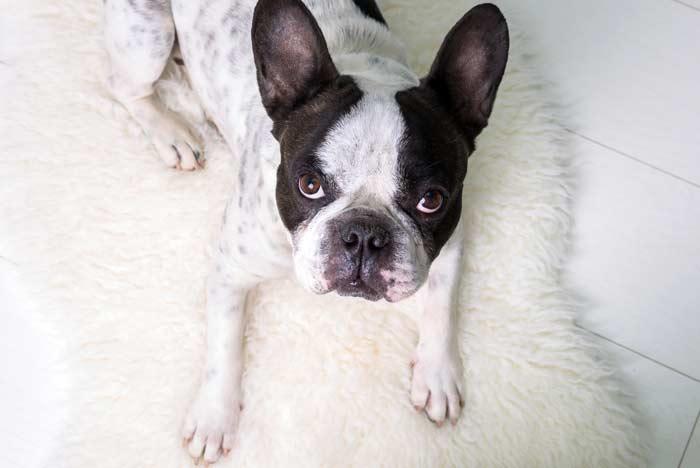 Frenchie, blanco y marrón, echado en su cama