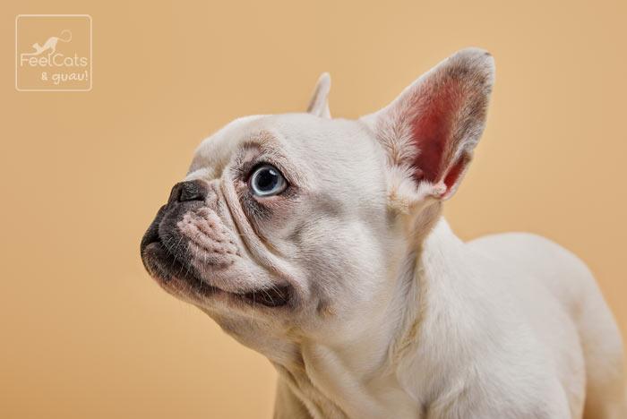 bulldog francés blanco y ojos azules