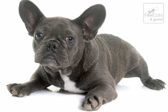 bulldog francés gris