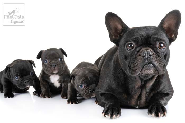 bulldog frances negro con sus cachorros