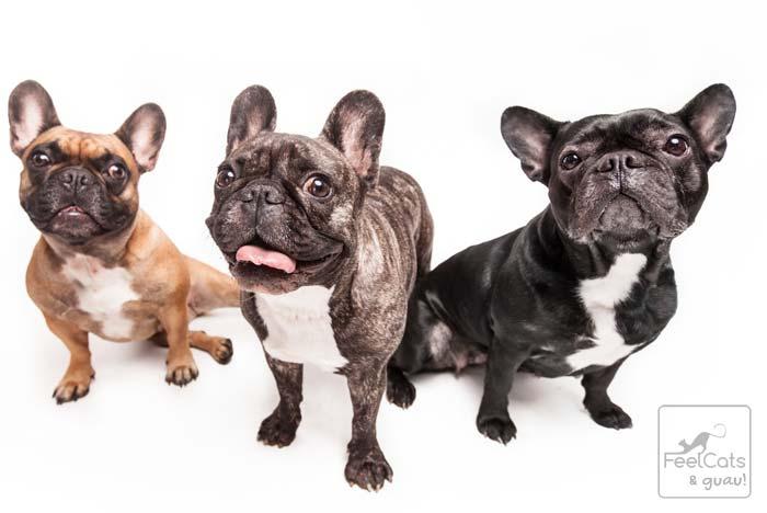 tres perros de la raza bulldog francés