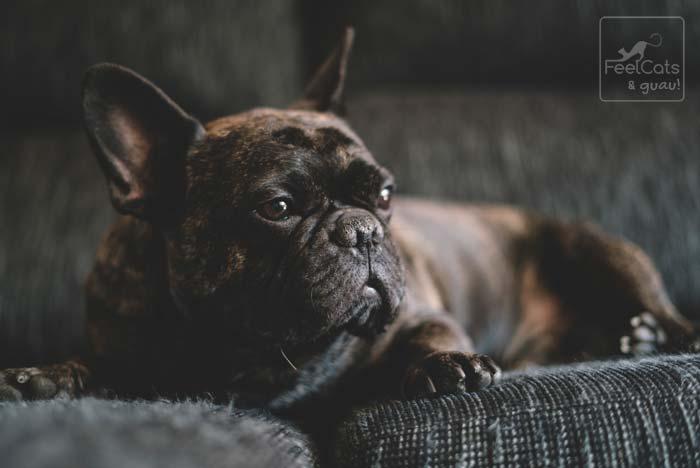 bulldog francés de color pardo y negro, echando en la sofá