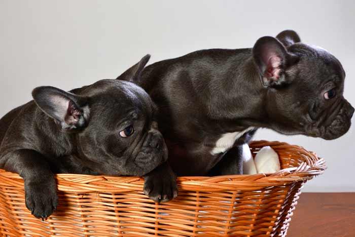 dos bulldog francés de color negro, cachorros, en una camita