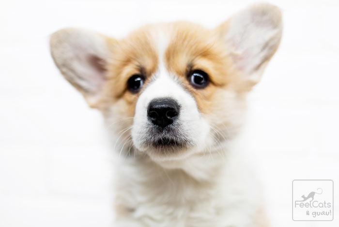 corgi perrito