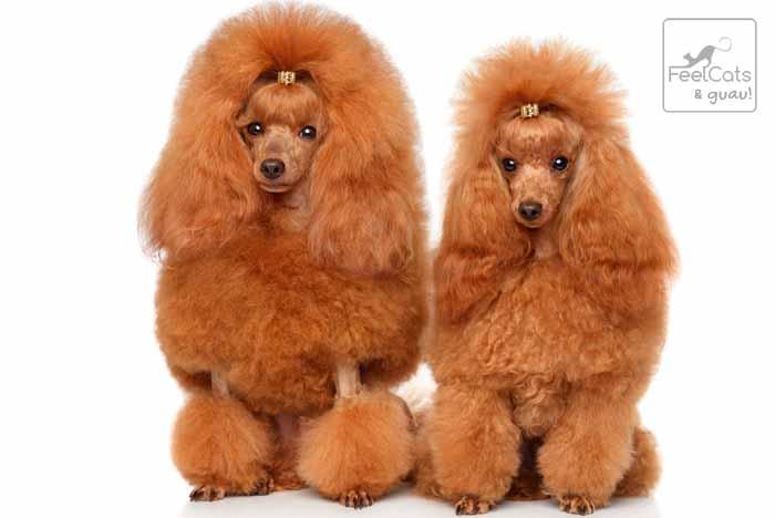 Dos perros caniches marrones