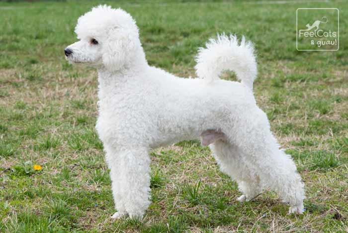 Perro Caniche blanco, posando