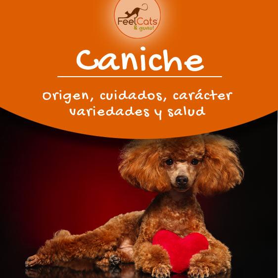 caniche, toda la información sobre esta raza de perro