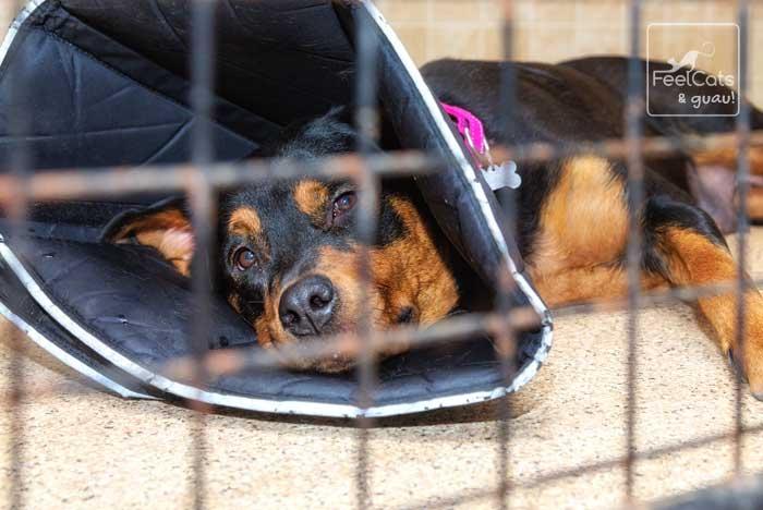 perro ingresado en postoperatorio de castración
