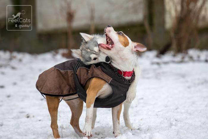 perros con abrigo, jugando en la nieve