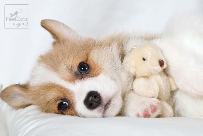 Puppy o cachorro de perrito con un juguete