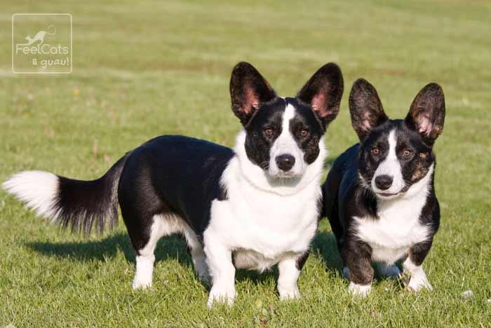 dos perros de la raza Corgi Galés de Cardigan