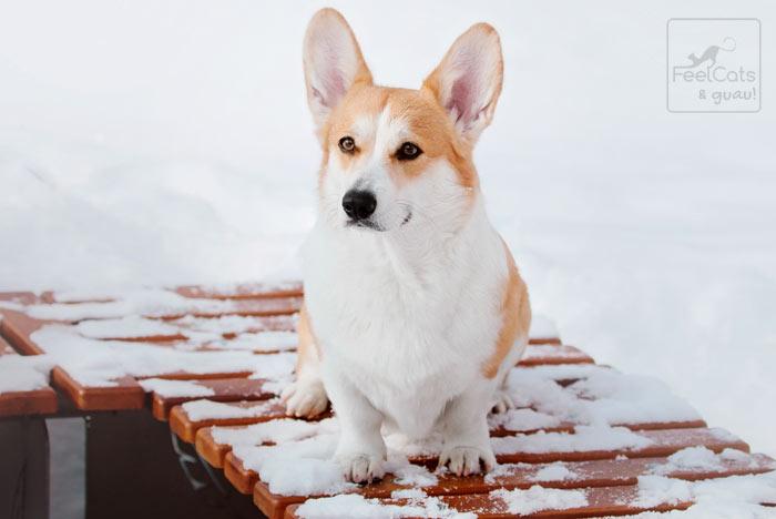 perro posando en la nieve
