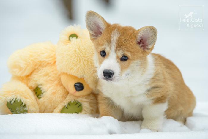 perro Corgi en la nieve