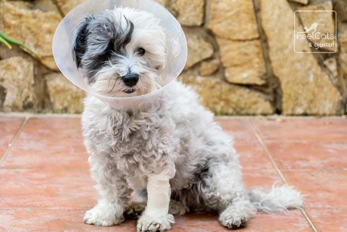perro con collarín después de la castración