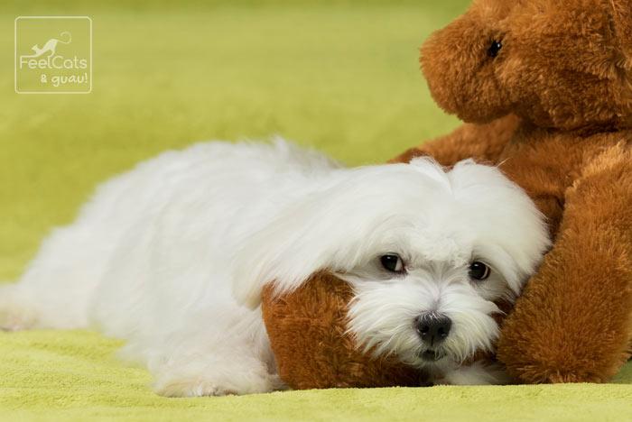 perro blanco dormido, junto a un juguete