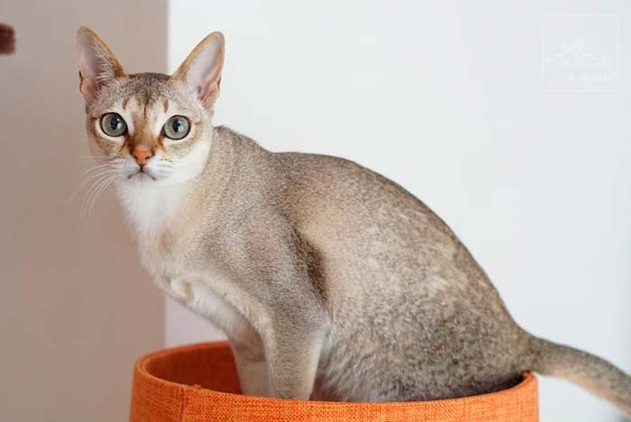 gato singapura en una cama de color naranja