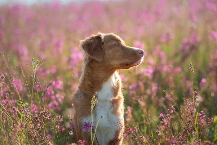 perra adulta entre las flores