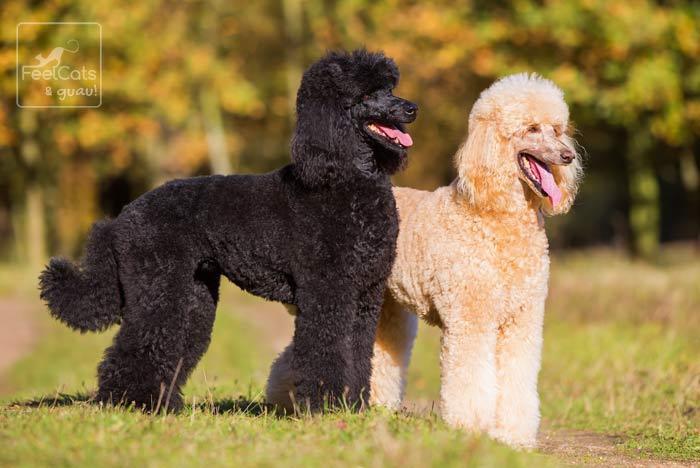 Caniche negro y marrón, juntos en el campo
