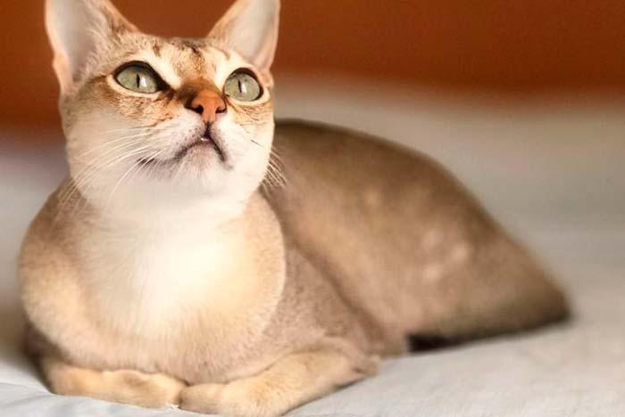 gato de Singapura de carácter tranquilo