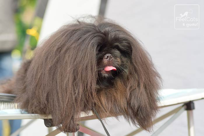 perro pequinés de gran melena