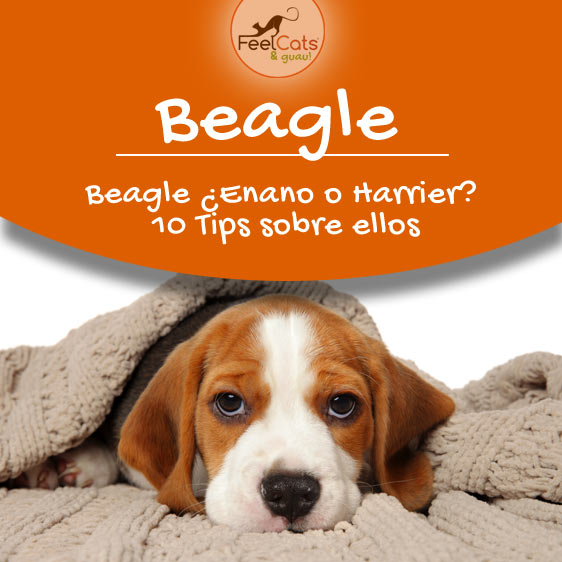 beagle y toda la información sobre esta raza