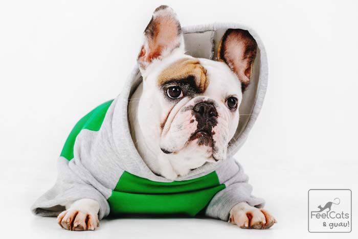 bulldog francés con abrigo